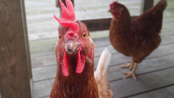 ニワトリは寒くても卵を産む